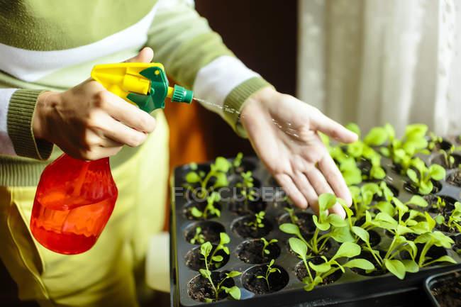 Mujer rocía las plantas de tomate en recipientes de plástico pequeños - foto de stock