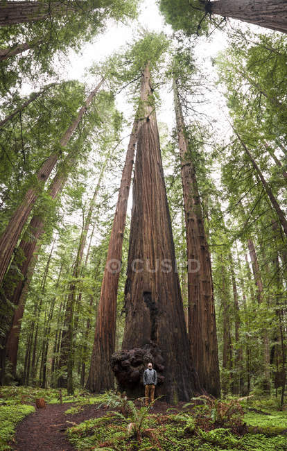 Jovem de pé sob árvore alta durante caminhadas entre Redwoods no Condado de Humboldt, Califórnia, EUA — Fotografia de Stock