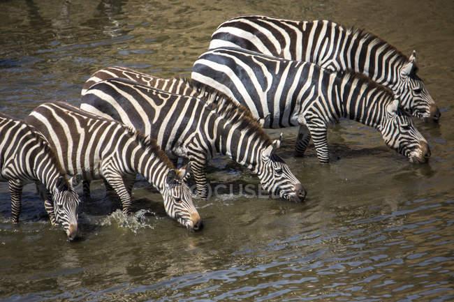 Стадо зебр питної води, Масаї Мара, Кенія — стокове фото