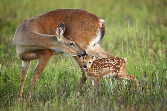 Cervi bianco - Uniti, governare il suo cerbiatto nel campo verde — Foto stock