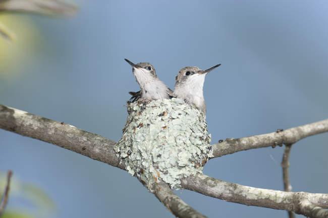 Пара Рубиновогорлый колибри птенцов в гнезде, Рехобот, штат Массачусетс, США — стоковое фото