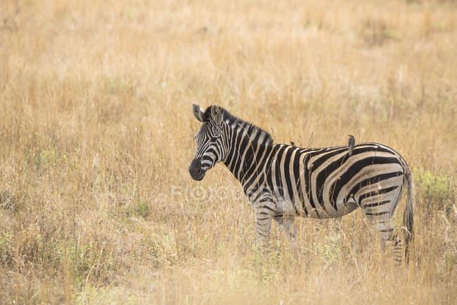 Vista lateral del pie una cebra en la sabana, Parque Nacional de Pilanesberg, Sudáfrica - foto de stock