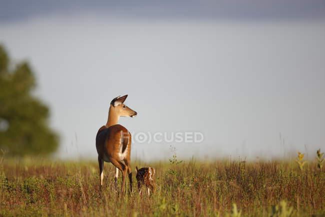 Bela cariacu com cervo em Prado — Fotografia de Stock