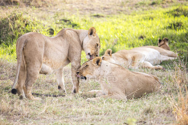 Lionesses resting in nature at Maasai Mara, Kenya — Stock Photo