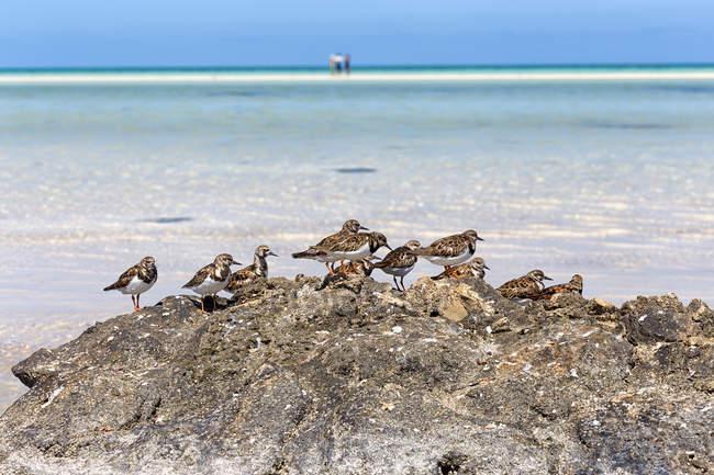 Uccelli di Sanderling sulla spiaggia idilliaca sull'isola di Holbox, Cancun, Yucatan, Messico — Foto stock