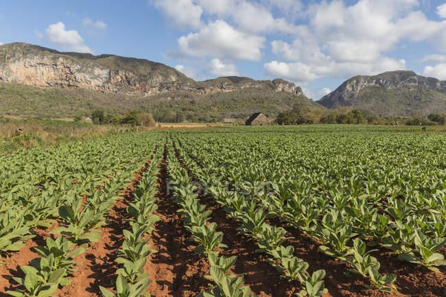 Campos de tabaco en Viñales, Cuba en un día parcialmente nublado - foto de stock