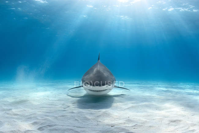 Front view of tiger shark swimming above bottom — Stock Photo