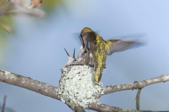 Рубиновогорлый колибри (Архилох colubris) кормления птенцов в гнезде, Рехобот, штат Массачусетс, США — стоковое фото