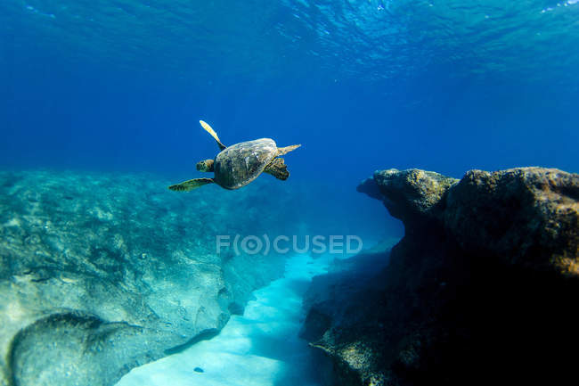 Underwater view of Hawaiian sea turtle swimming above reef at Pipeline, on north shore of Oahu, Hawaii, USA — Stock Photo