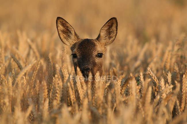 Belle des chevreuils se cachant dans le champ de blé doré — Photo de stock