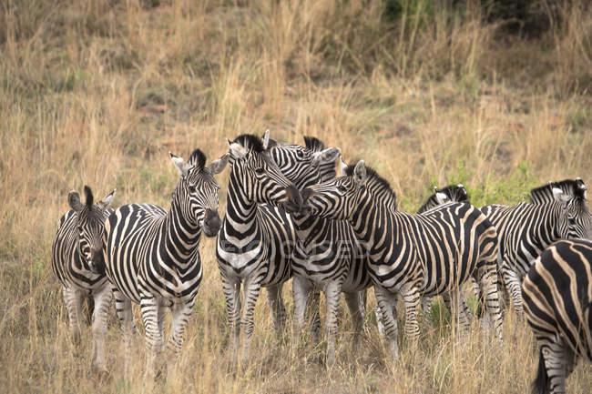 Manada de cebras en la sabana, Parque Nacional de Pilanesberg, Sudáfrica - foto de stock