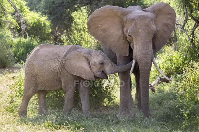 Слон сім'ї в Національному заповіднику Самбур, Кенія — стокове фото