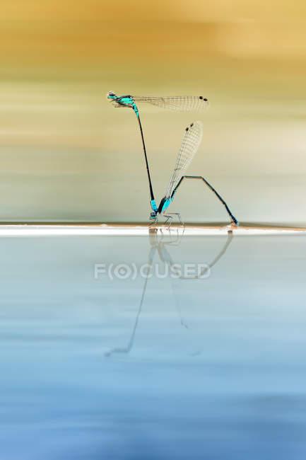 Gros plan de libellules accouplement sur la surface de l'eau — Photo de stock