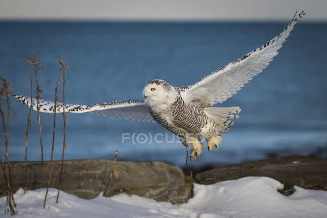 Volo sul mare costa del New Hampshire del gufo di Snowy — Foto stock