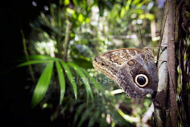 Vista lateral del buho butterfly (Caligo memnon) percha de árbol, Península de Yucatán, México - foto de stock