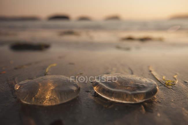 Два медуз на піщаному пляжі біля Tofino, Британська Колумбія, Канада — стокове фото