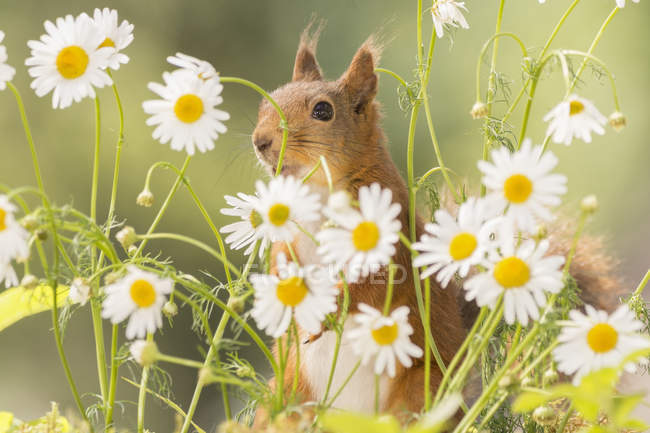 Cute red squirrel between daisy flowers, Bispgarden, Jamtland, Sweden — Stock Photo