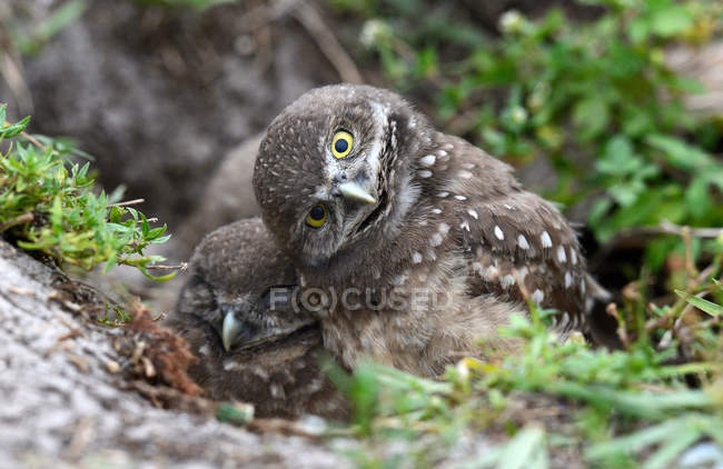 Флорида риє сови точк в Південній Флориді — стокове фото