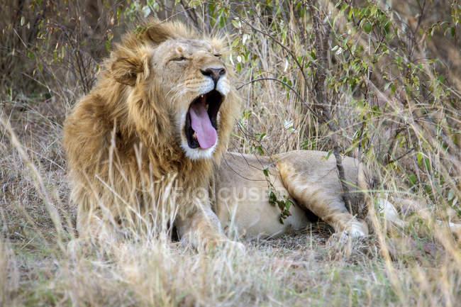 Lion yawning in Maasai Mara, Kenya — Stock Photo