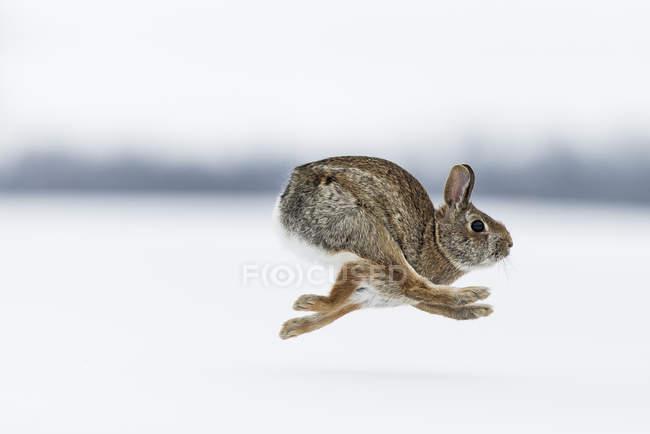 Выборочный фокус запуска американские кролик на зимний день — стоковое фото