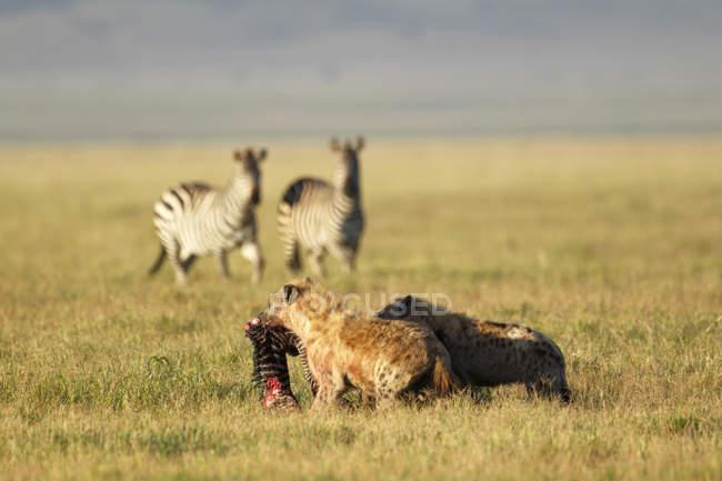 Гієни їдять Зебра лоша з дорослих зебр у фоновому режимі, Нгоронгоро кратер, Танзанія — стокове фото