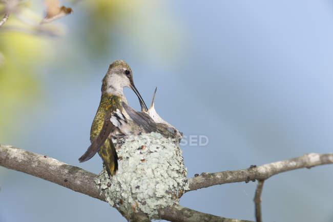 Ruby – Throated Kolibri (Archilochos Colubris) Fütterung Küken im Nest, Rehoboth, Massachusetts, Usa — Stockfoto