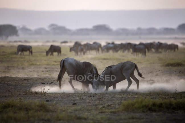 ГНУ, бои в Национальный парк Амбосели, Кения — стоковое фото