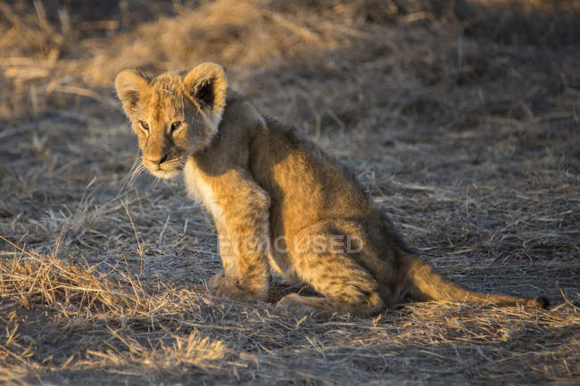 Chiuda sulla vista del cucciolo di leone selvaggio sveglio durante il tramonto in Maasai Mara, Kenya — Foto stock