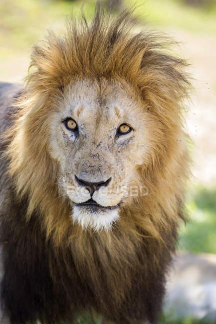 Lion muzzle in Maasai Mara, Kenya — Stock Photo