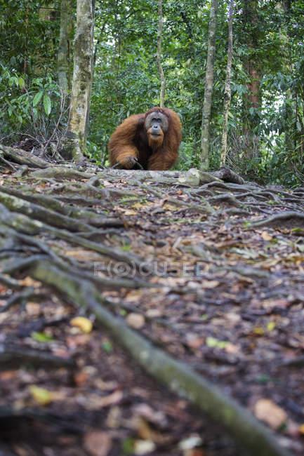 Orangután de Sumatra macho salvaje en el Parque Nacional de Gunung Leuser - foto de stock