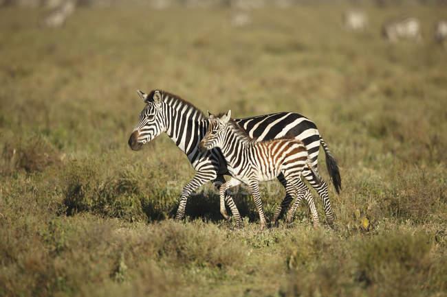 Вид збоку Зебра прогулянки з лоша, Національний Парк Серенгеті, Танзанія — стокове фото