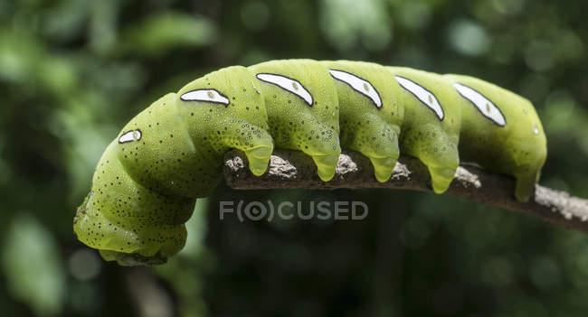 Gros plan tiré de chenille verte sur fond naturel flou — Photo de stock