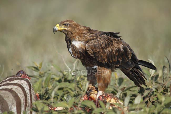 Степовий орел на Зебра зрубу, Національний Парк Серенгеті, Танзанія — стокове фото