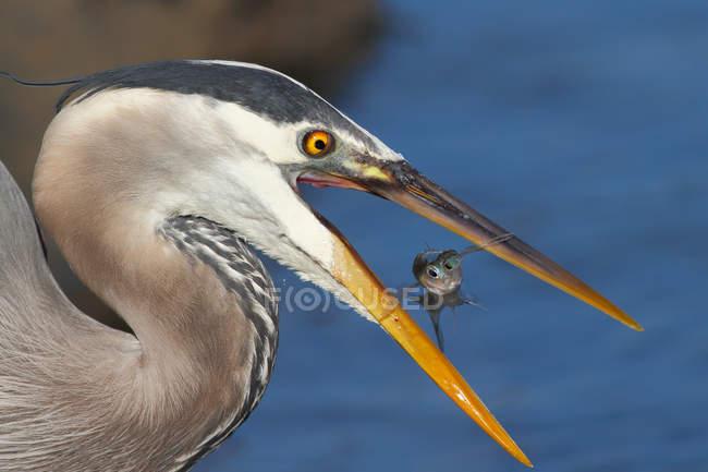 Крупным планом зрения большой голубой цапли с рыбой в клюве в естественной среде обитания — стоковое фото