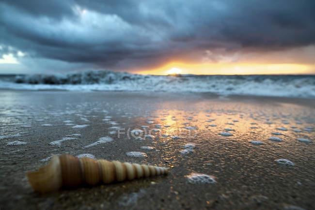 Chiuda in su della conchiglia cono tortuoso lungo e sottile sulla spiaggia all'alba, Oahu, Hawaii, Stati Uniti — Foto stock