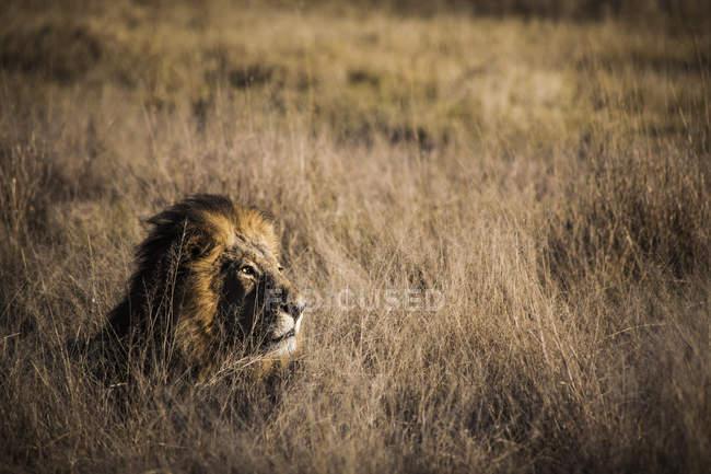 Beautiful nature photograph of single lion lying in savannah, Okavango Delta, Botswana — Stock Photo