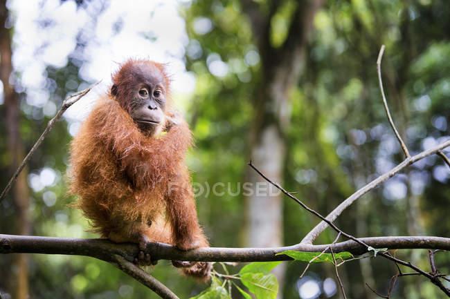 Bebé orangután de Sumatra en la rama en el Parque Nacional Gunung Leuser, Sumatra, Indonesia - foto de stock