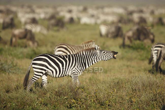 Вид сбоку Зебра стоя с рот открыть, Национальный парк Серенгети, Танзания — стоковое фото