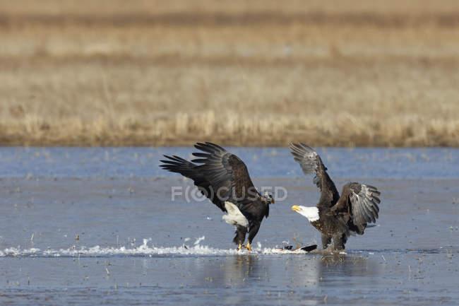Coppia di aquile calve litigare per carcassa oca delle nevi — Foto stock