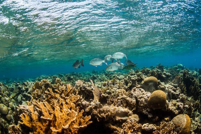 Unterwasser-Blick der Schule der Fische schwimmen über Riff und Korallen, Westende, West Bay, Roatan, Honduras — Stockfoto