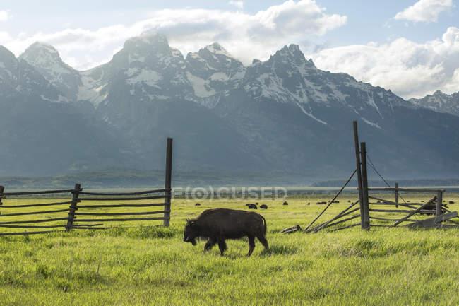 Bison grast in hölzernen eingezäunten Weide mit dem Grand Teton Bergkette in der Ferne — Stockfoto