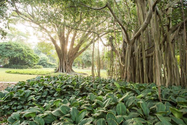 Індійська banyan tree в ботанічний сад Дурбана, Дурбан, Квазулу-Наталь, Сполучені Штати Америки — стокове фото