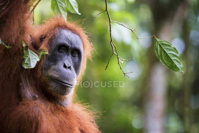 Hembra de orangután de Sumatra escalar árboles en busca de higos extinción - foto de stock