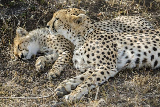 Geparden bewacht und ihr junges in Masai Mara, Kenia — Stockfoto