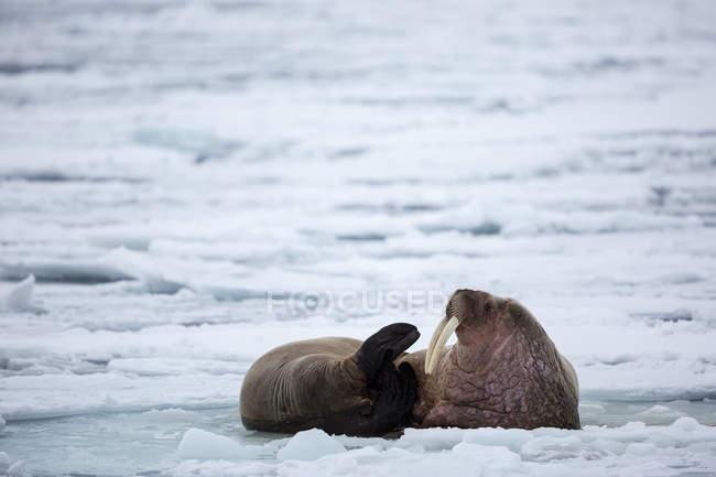 Zwei Walrosse ruhen sich am Wintertag auf Packeis in Spitzbergen aus — Stockfoto