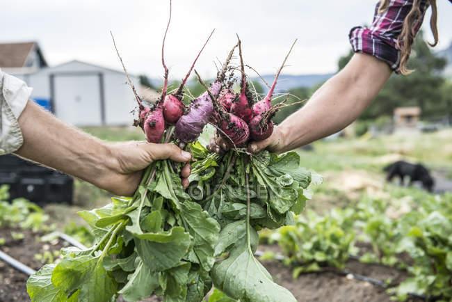 Hombre y mujer recién cosechan rabanitos en granja orgánica - foto de stock