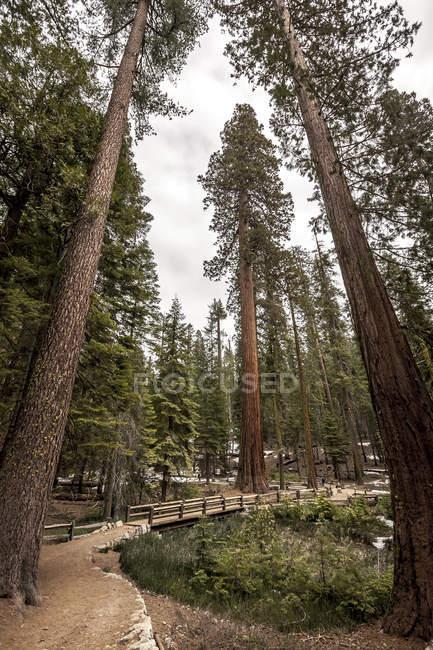 Гай Редвуд дерев в національному парку Йосеміті, Ca — стокове фото