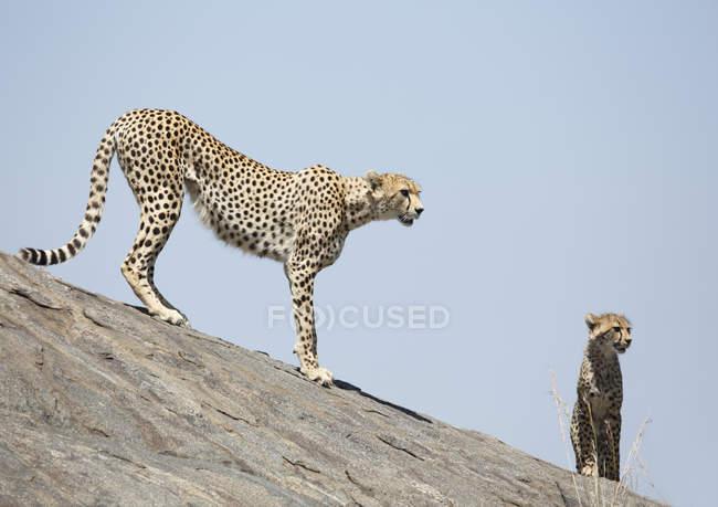 Mutter und junges Gepard auf einem Felsen — Stockfoto