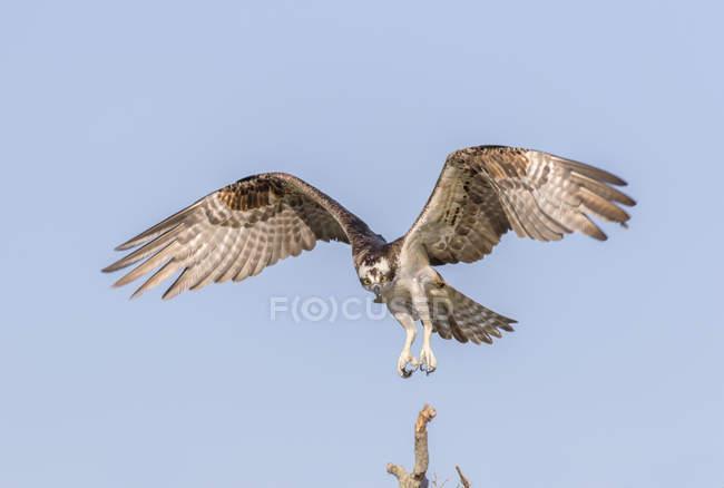 Primo piano di un falco pescatore atterraggio nel nido — Foto stock