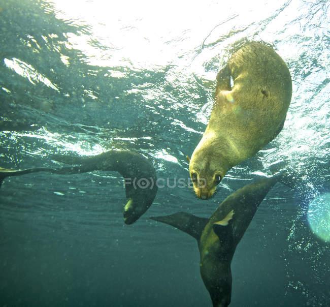 Kap-Pelzrobben Tauchen unter Wasser in der Nähe von Simons Town in der False Bay in Cape in Südafrika — Stockfoto